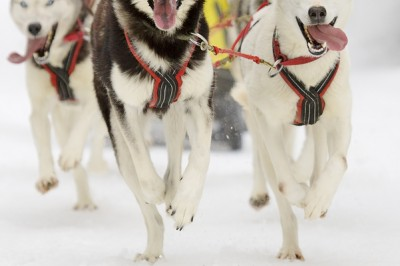 Sled dogs image by Bigstock